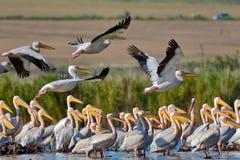 Pelicans flying in Danube Delta, Romania