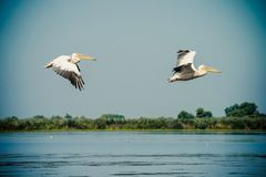Pelicans flying in the Danube Delta, Romania Stock Photo