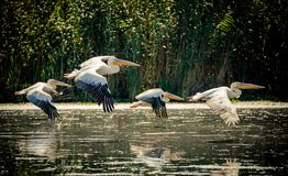 Pelicans flying in the Danube Delta, Romania royalty free stock photo