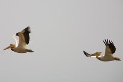 Pelicans flying royalty free stock photos