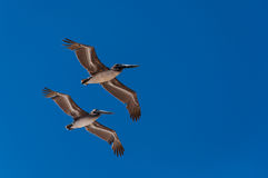Pelicans flying in formation. Two pelicans flying in formation and a blue sky Stock Photography