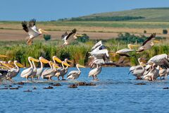 Free Pelicans Flying In Danube Delta, Romania Royalty Free Stock Photography - 196129177