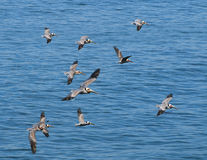 Pelicans Flying, LaJolla California Stock Photo
