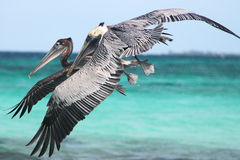 Pelicans flying 2. Flying pelicans at Laughing Bird Caye, Belize stock images