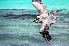 Pelicans flying Stock Images
