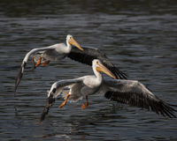 Pelicans flying. A oair of pelicans flying over and landing in a lake Royalty Free Stock Image