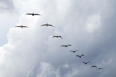 Pelicans flying in an organised Royalty Free Stock Photos