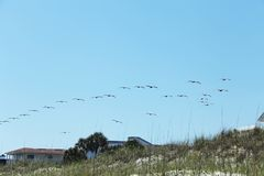 Flying pelicans. Pelicans flying over Atlantic coast of Florida stock photo