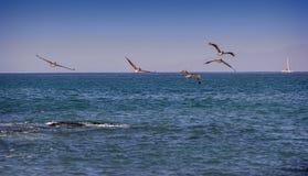 Pelicans Flying Over Ocean stock photography