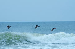 Pelicans Flying Over the Ocean Waves. Three pelicans flying over the ocean as the wave is crashing over with bright blue sky in the background Royalty Free Stock Photo