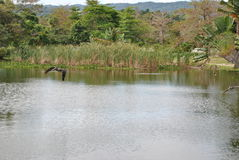 Pelicans flying over a pond. Two pelicans are flying over a pond on the hunt for a place to land on jamaica in caribbean stock photo