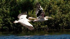 Pelicans in flight royalty free stock photos