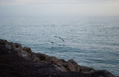 Pelicans at the beach. Pelicans flying over a rocky beach at sunset royalty free stock photo