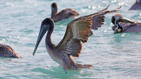 Pelicans flying over the sea in Miami, fishing in the shore at surf-shore while hunting for food. Sea birds in the ocean close to the beach looking for fish royalty free stock photography