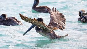 Pelicans flying over the sea in Miami, fishing in the shore at surf-shore while hunting for food. Sea birds in the ocean close to the beach looking for fish stock image
