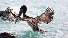 Pelicans flying over the sea in Miami, fishing in the shore at surf-shore while hunting for food. Sea birds in the ocean close to the beach looking for fish royalty free stock photos
