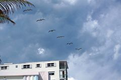 Pelicans flying over the waterfront promenade on Dania Beach Royalty Free Stock Photography