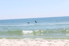 Pelicans flying over White Sand Beach. 2 Pelicans flying over a white sand Alabama beach, Gulf of Mexico Royalty Free Stock Photography