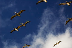 Pelicans flying in sky Royalty Free Stock Photos