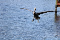 Pelicans. Flying in to get some fish here in floridas nature coast citruscounty stock image