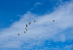 Pelicans flying together on blue sky in Mayan riviera. Of Mexico Stock Photos