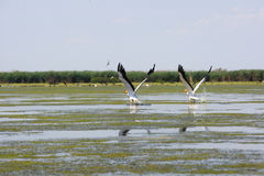 Pelicans flying royalty free stock photo