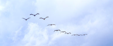 Pelicans flying under dark clouds Royalty Free Stock Photos