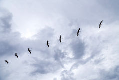 Pelicans flying under dark clouds Stock Images