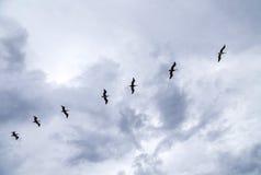 Pelicans flying under dark clouds Stock Images