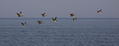 Pelicans in Formation at North Beach Seabrook Island Royalty Free Stock Photography