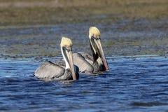 Pelicans at Fort De Soto State Park Stock Photos