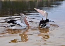 Pelicans Frollicking in the Moore River, Western Australia stock photos
