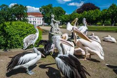 Pelicans in front of the Friedrichsfelde Palace royalty free stock images