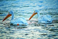 Pelicans on Frozen River. The Pelicans on the river stock photo