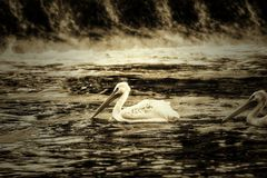Pelicans on Frozen River. The Pelicans on the river royalty free stock image