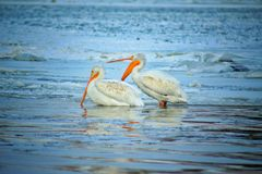 Pelicans on Frozen River. The Pelicans on the river royalty free stock photography