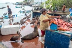 Pelicans and a Galapagos Sea Lion Beg for food at the Santa Cruz Fish Market Stock Photos