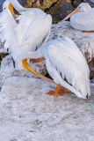 Pelicans at Galveston Island, TX Stock Images