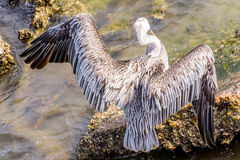 Pelicans at Galveston Island, TX Stock Photo