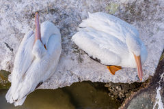 Pelicans at Galveston Island, TX Royalty Free Stock Photo
