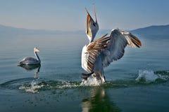 Pelicans. Game pelicans at Lake Prespa Macedonia royalty free stock photo