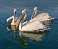 Pelicans. Game pelicans at Lake Prespa Macedonia stock images