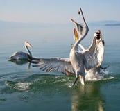 Pelicans. Game pelicans at Lake Prespa Macedonia stock image