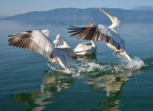 Pelicans. Game pelicans at Lake Prespa Macedonia royalty free stock images
