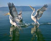 Pelicans. Game pelicans at Lake Prespa Macedonia stock photography