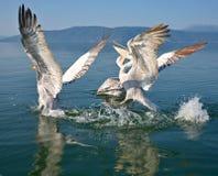 Pelicans. Game pelicans at Lake Prespa Macedonia royalty free stock image