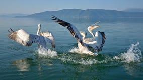 Pelicans. Game pelicans at Lake Prespa Macedonia stock photos