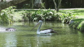 Pelicans are a genus of large water birds that makes up the family Pelecanidae stock video footage