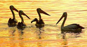Pelicans. Are a genus of large water birds that makes up the family Pelecanidae. They are characterised by a long beak and a large throat pouch used for Stock Image