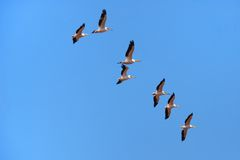 Pelicans Gliding Stock Photo